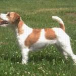 Wir erwarten Ende Mai Parson Russell Terrier Welpen