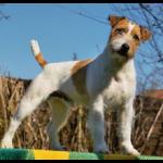Wir erwarten Ende März einen Parson Russell Terrier Wurf