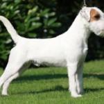 Wir erwarten im August einen Parson Russell Terrier Wurf